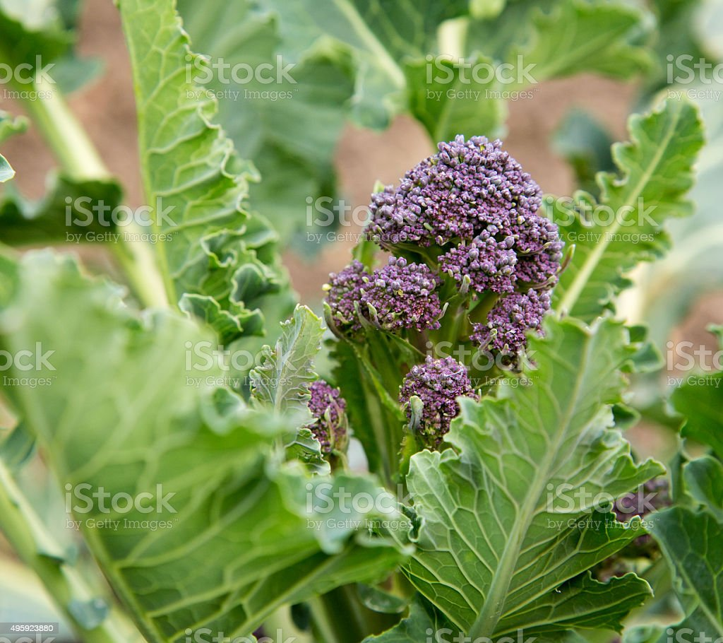 purple sprouting broccoli royalty-free stock photo