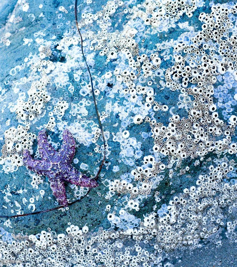Purple starfish and barnacles stock photo