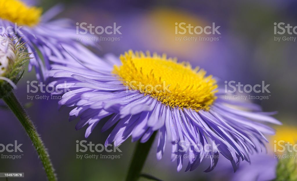Purple summer aster stock photo