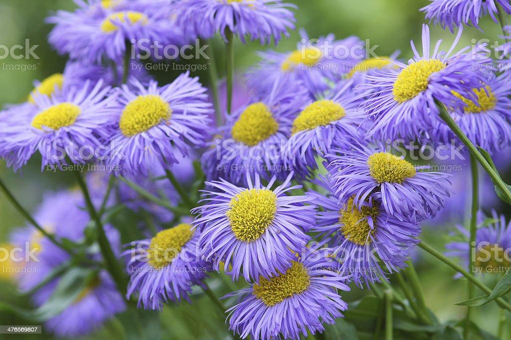 Purple summerasters royalty-free stock photo