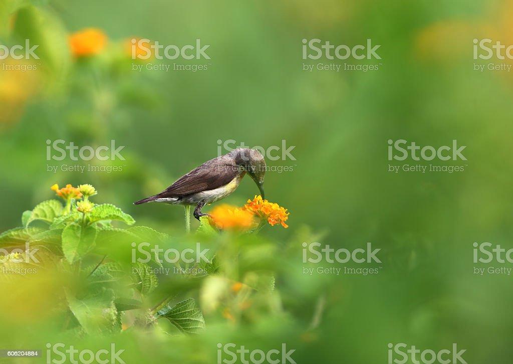Purple Sunbird stock photo