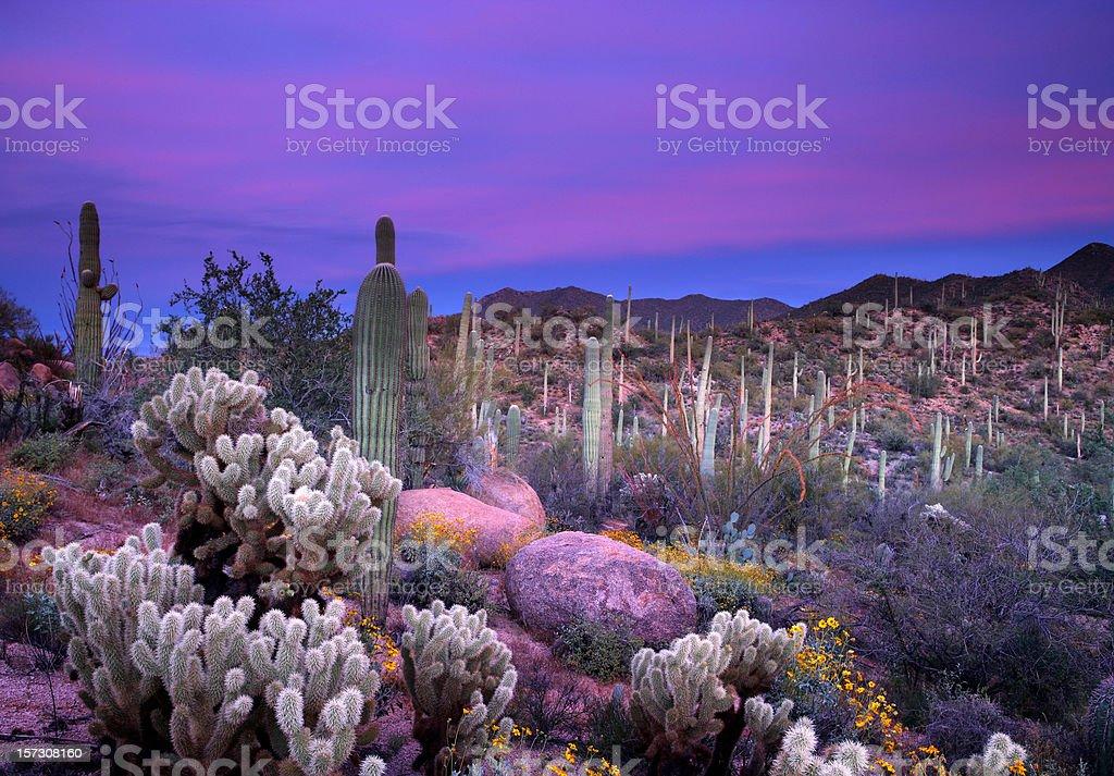 Purple sunset over the saguaro desert royalty-free stock photo