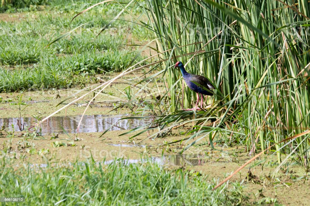 Purple swamphen, Lake Manyara, Tanzania stock photo