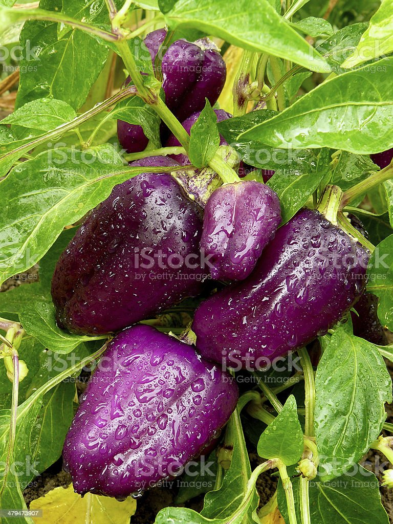 purple sweet peppers royalty-free stock photo