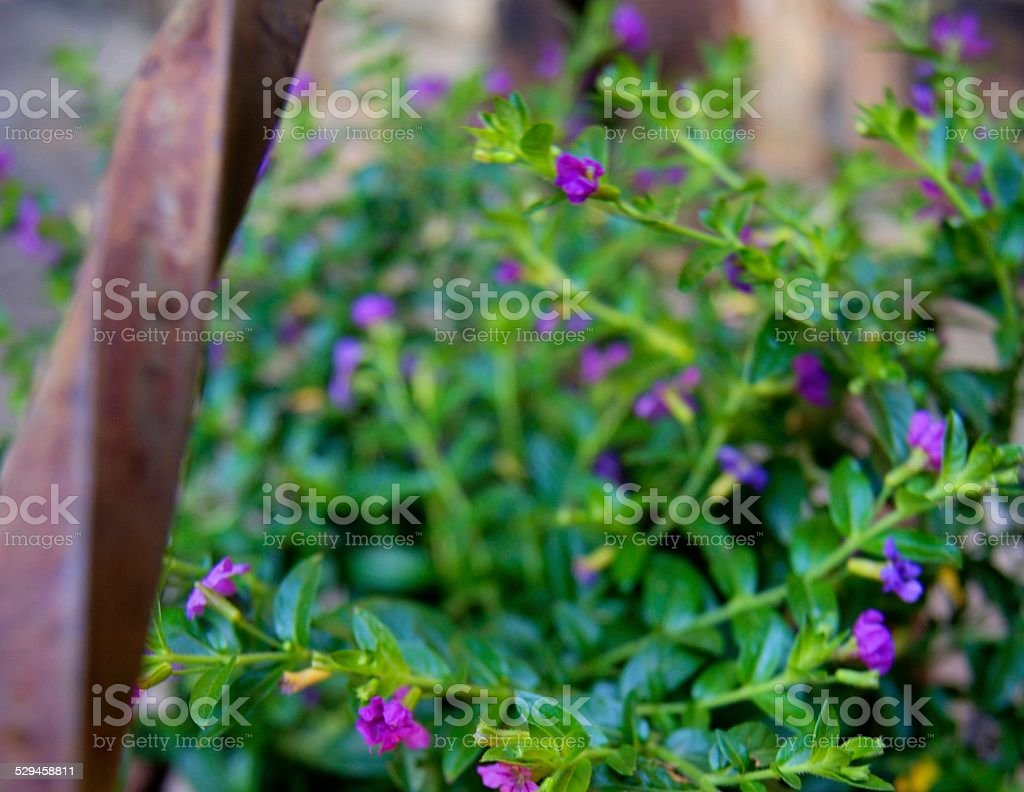 Purple Tails royalty-free stock photo