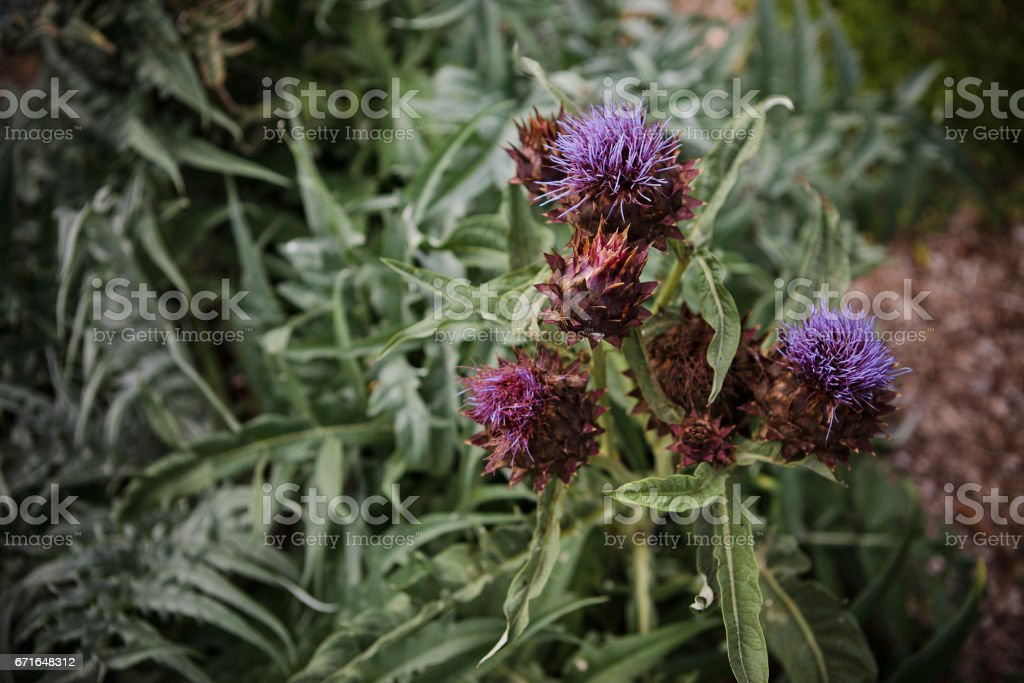 Purple Thisel stock photo
