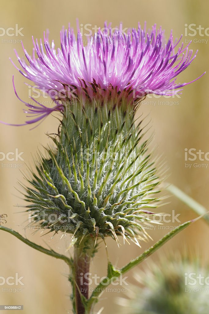 purple thistle bloom stock photo