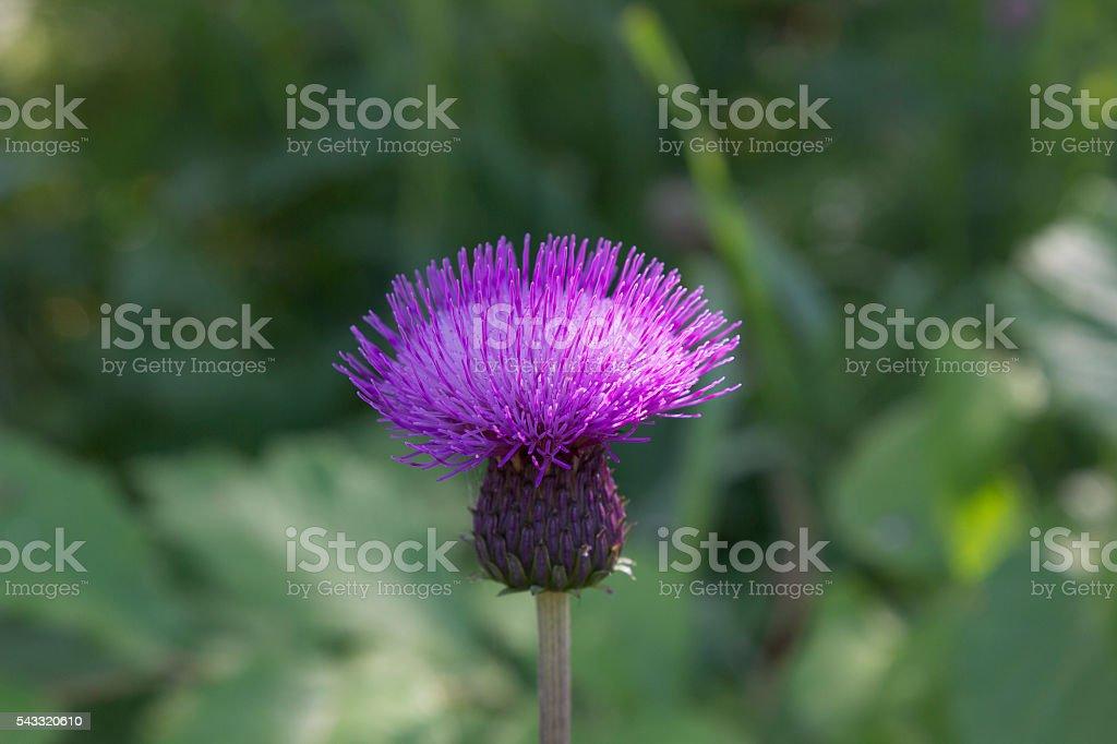 Purple Thistle (Cirsium horridulum) stock photo