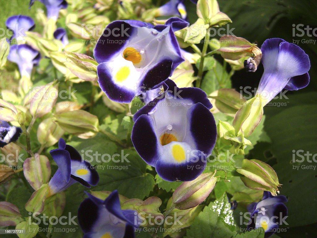 Violet Torenia fleurs photo libre de droits