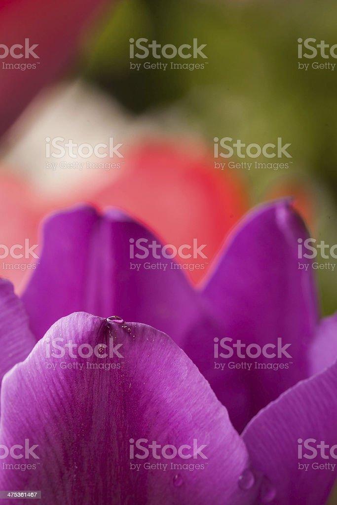 purple tulip close up royalty-free stock photo