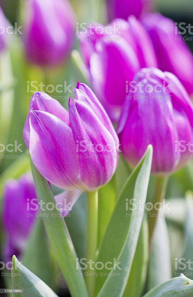 Purple tulip flowers. stock photo