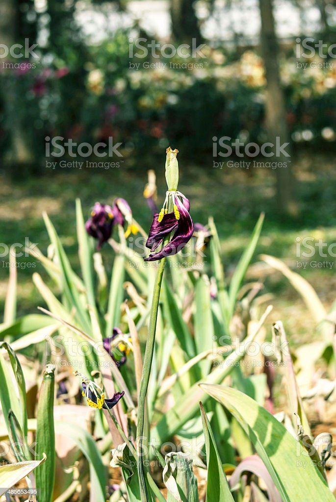 Purple Tulip Flowers withered and dead stock photo