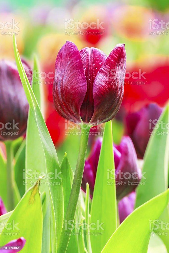Tulipano viola foto stock royalty-free