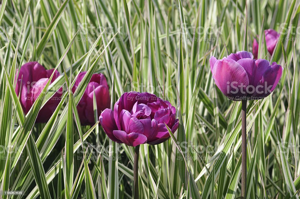 purple tulips and white green grass stock photo