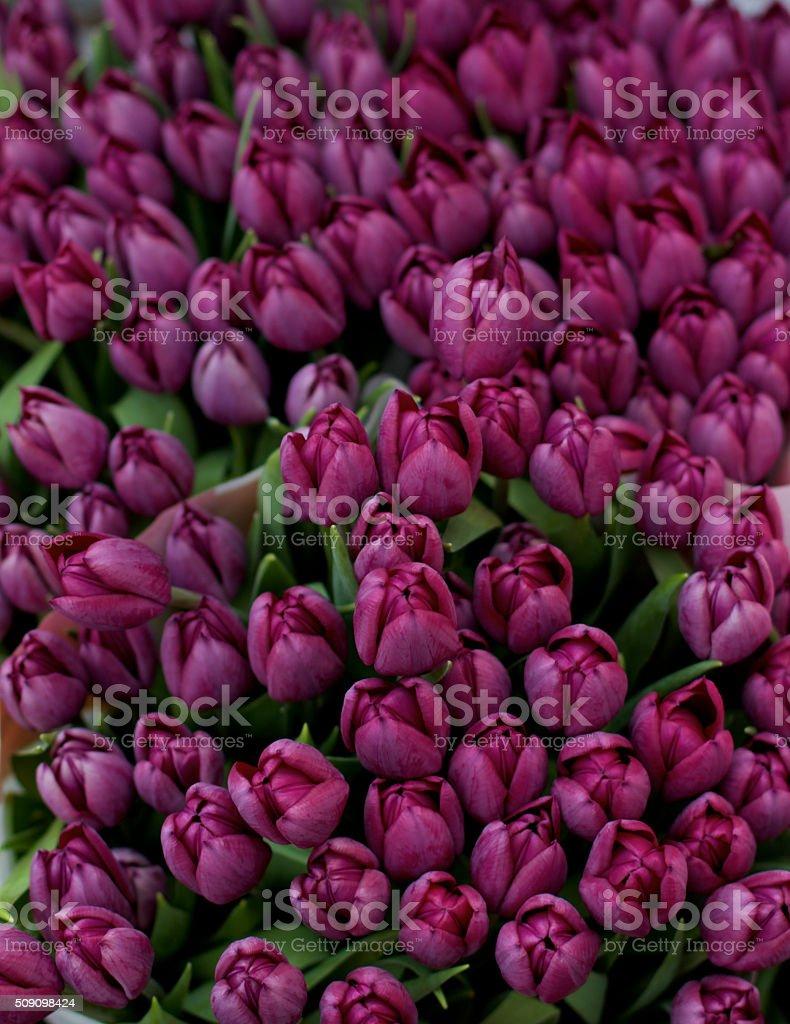 Purple Tulips Background stock photo