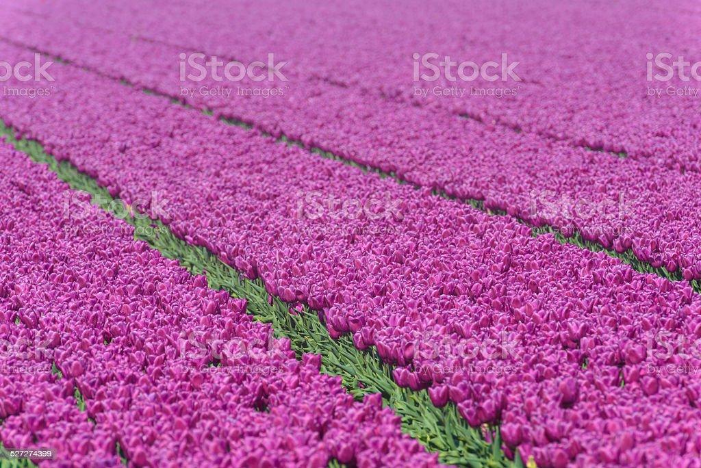 Purple Tulips field stock photo