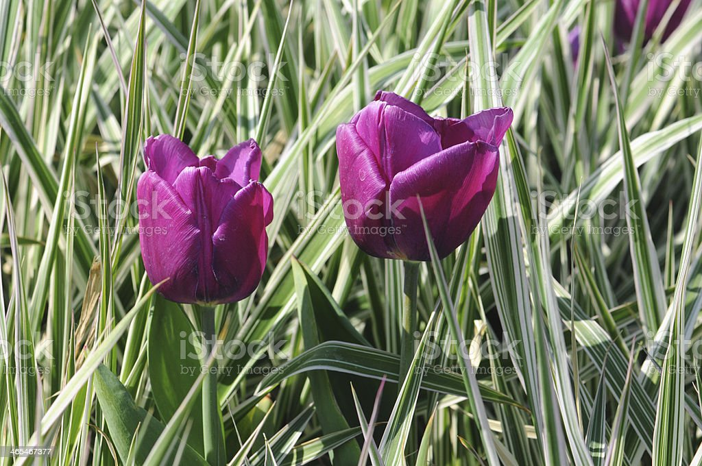 purple tulips in reed royalty-free stock photo