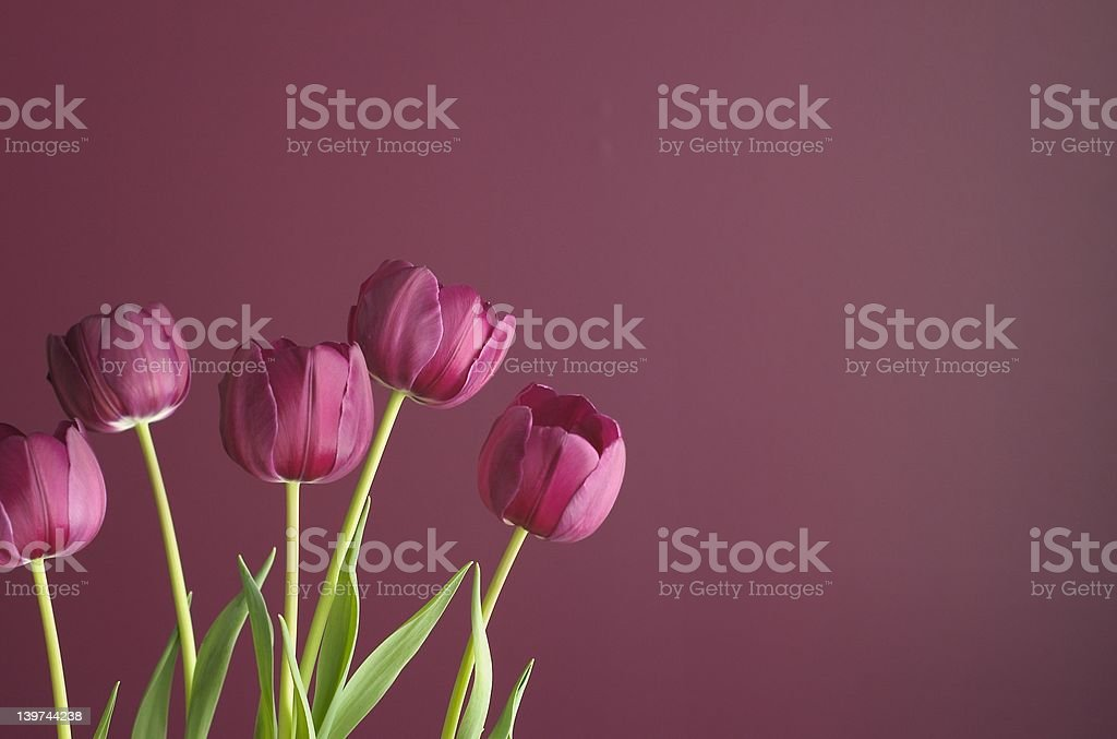 purple tulips on purple 5 royalty-free stock photo
