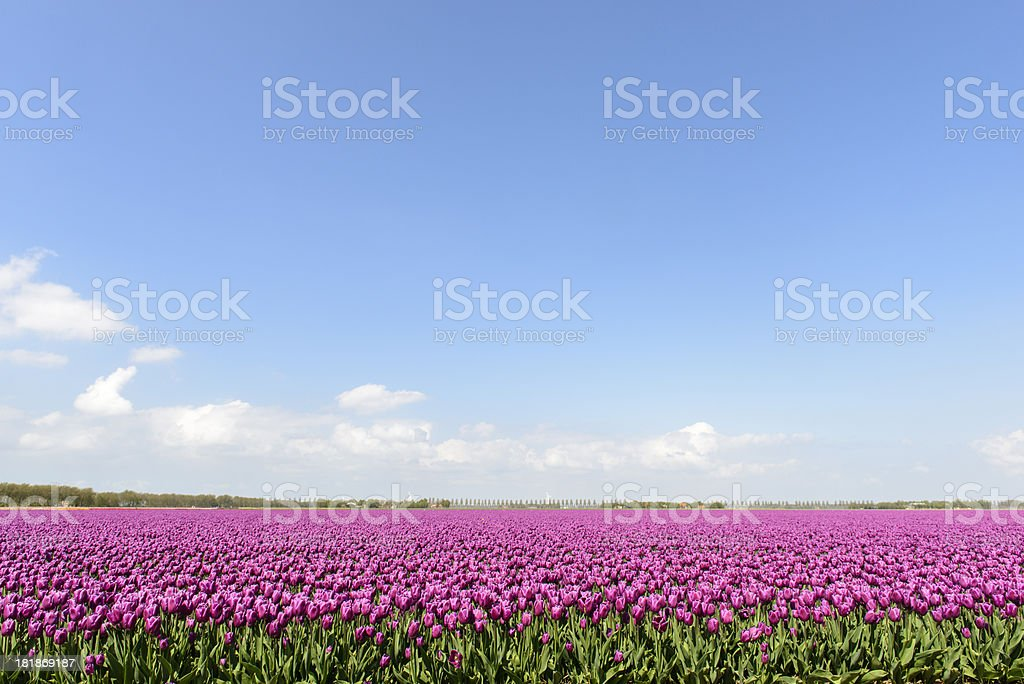 Purple tulips royalty-free stock photo