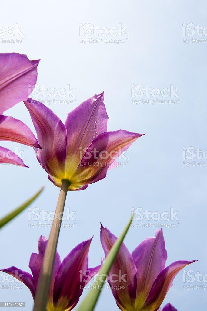 Purple Tulips seen from below stock photo