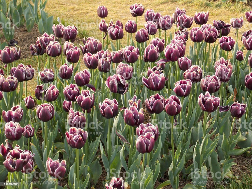Purple Tulips with White Tips stock photo
