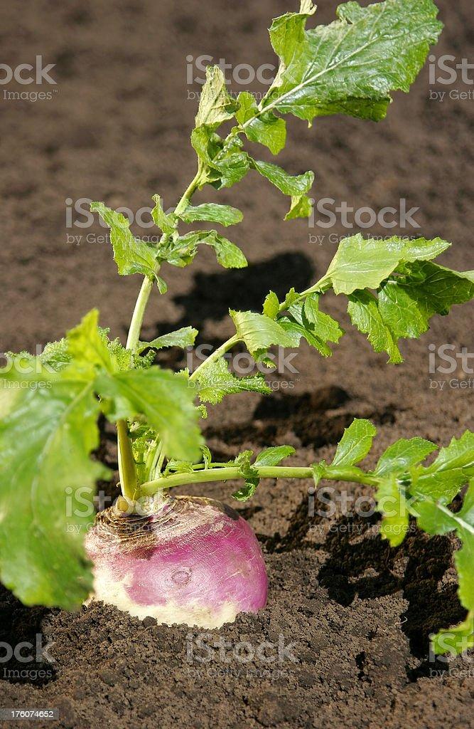 Purple Turnip royalty-free stock photo