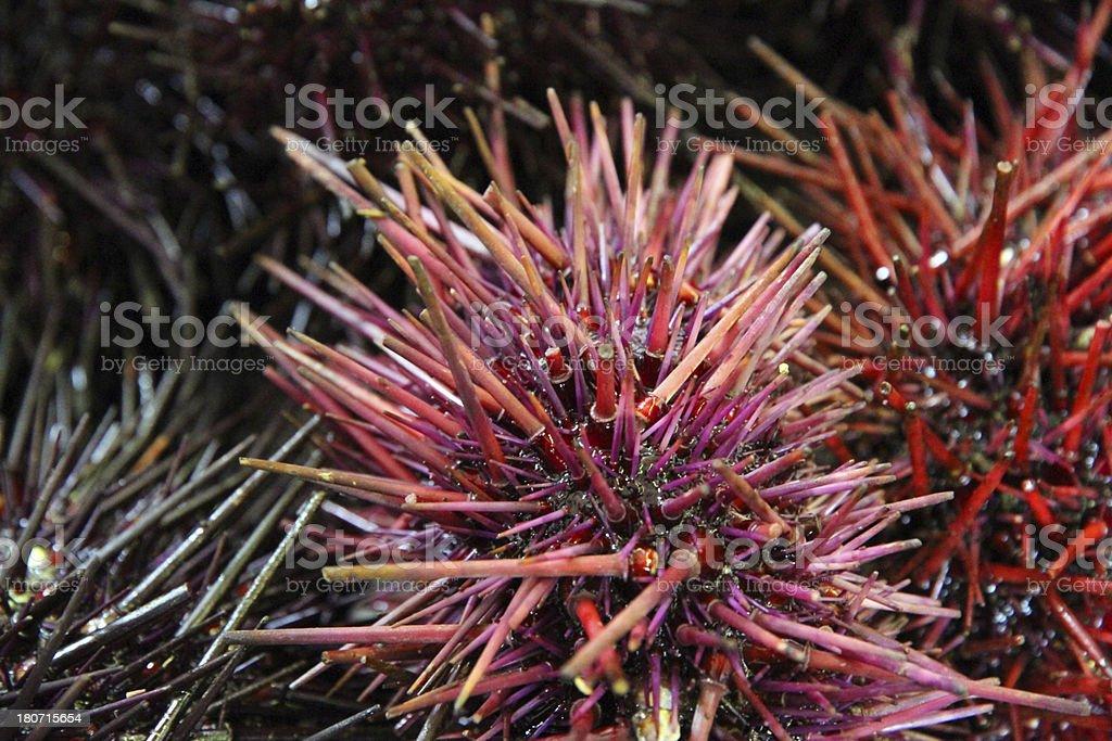 Purple Urchin royalty-free stock photo