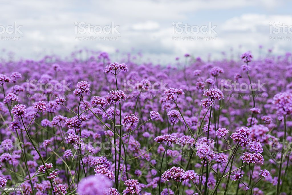 purple verbena field  in soft fogus stock photo