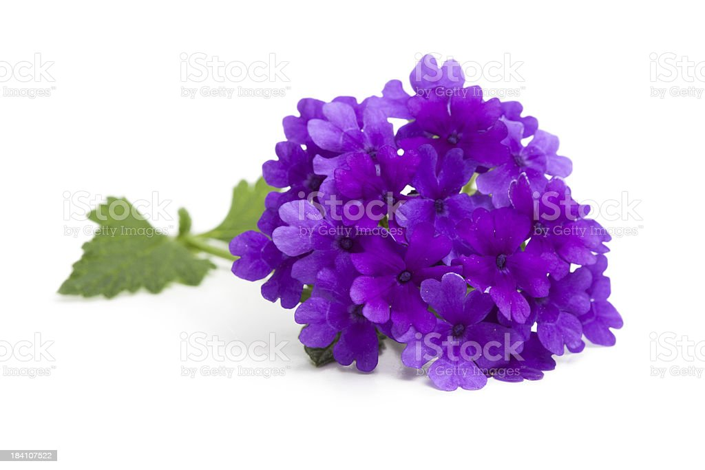 Purple Verbena Flower and Leaves on White stock photo