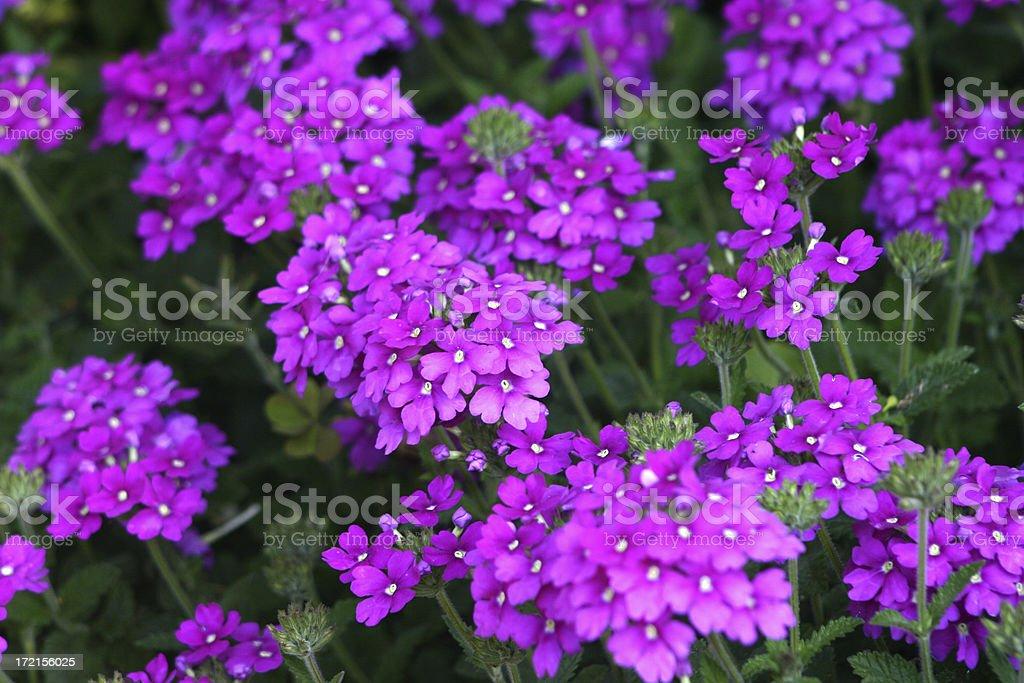Purple Verbena royalty-free stock photo