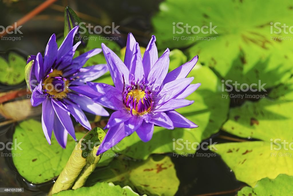 Purple water lilies royalty-free stock photo