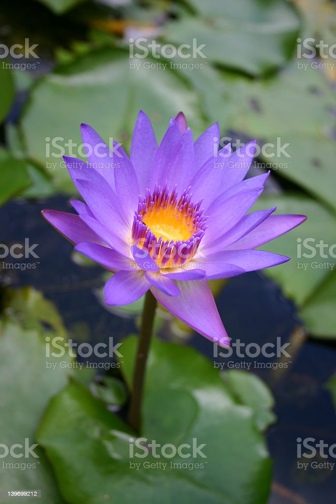 purple water lilly flower royalty-free stock photo