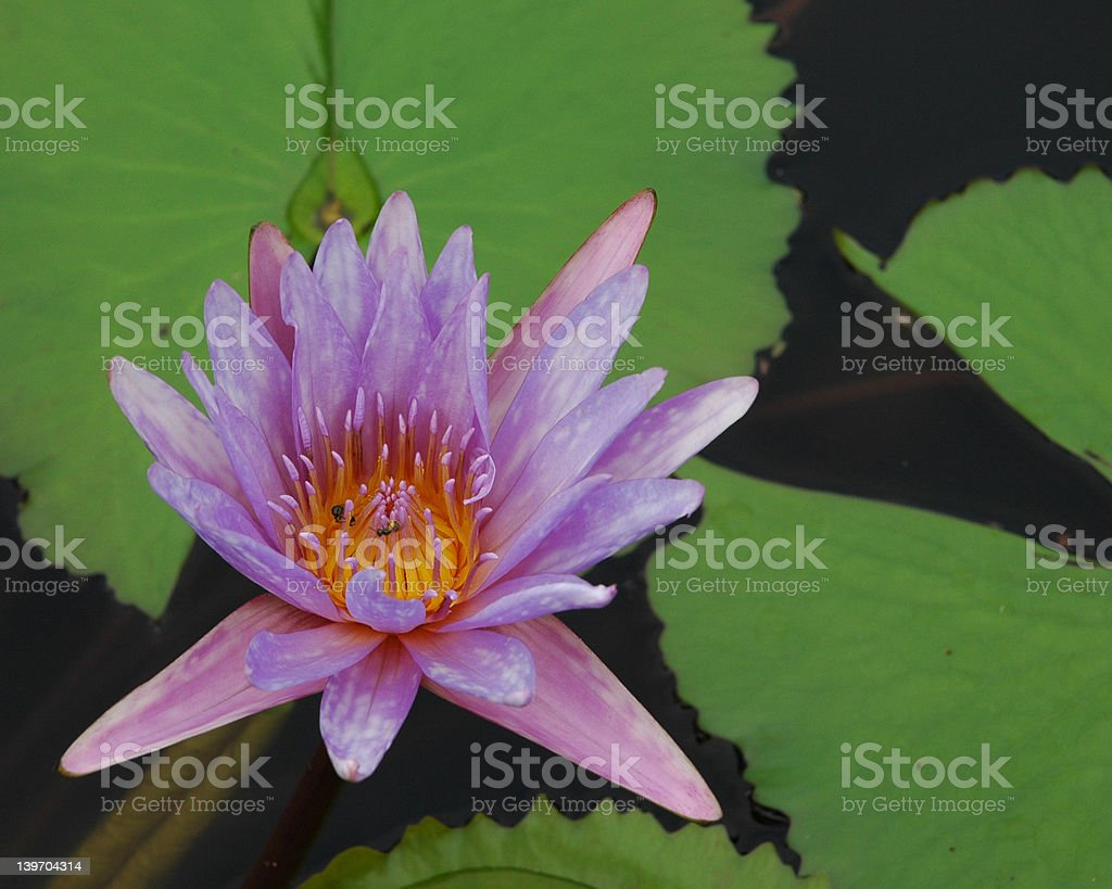 Purple water lilly royalty-free stock photo