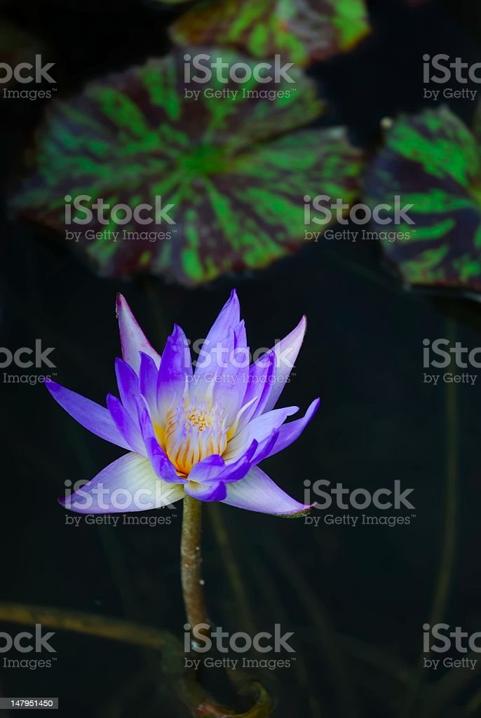 Purple Water Lilly stock photo