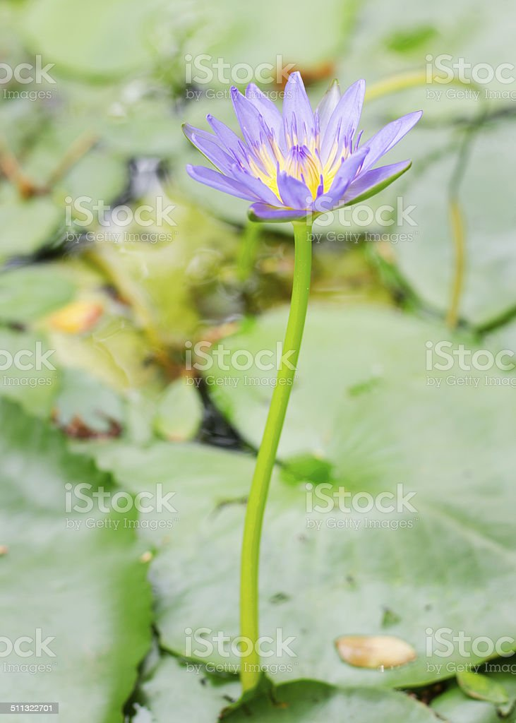 purple lotus blooming in pond with close up background stock photo