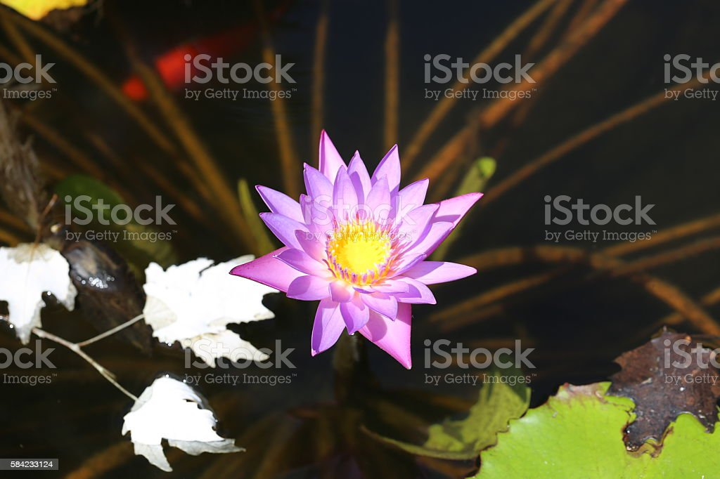 Purple Water Lily Flower stock photo