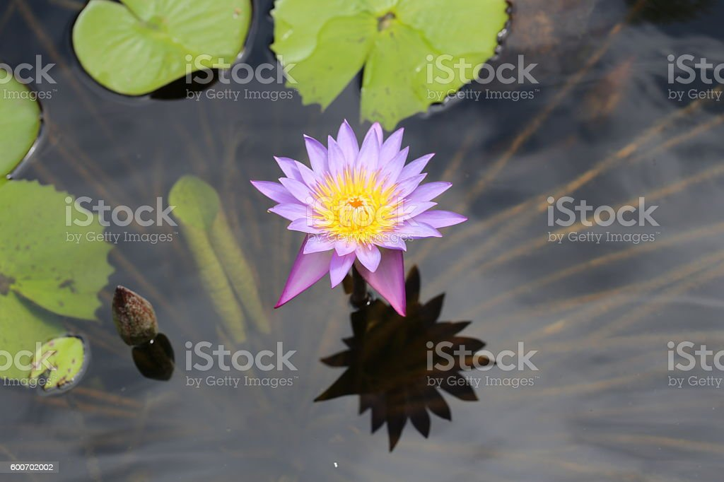 Purple Water Lily Flower. stock photo