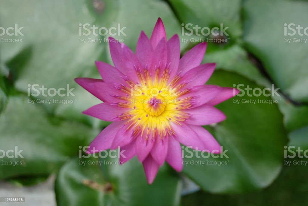 Purple water lily in the earthen jar. stock photo