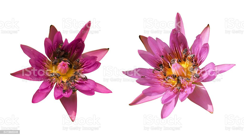 purple water lily (lotus) in white background isolate stock photo