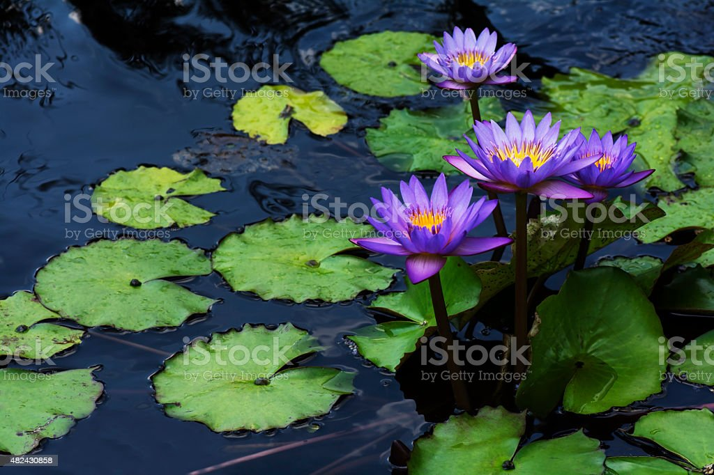 Purple water lily lotus flowers stock photo