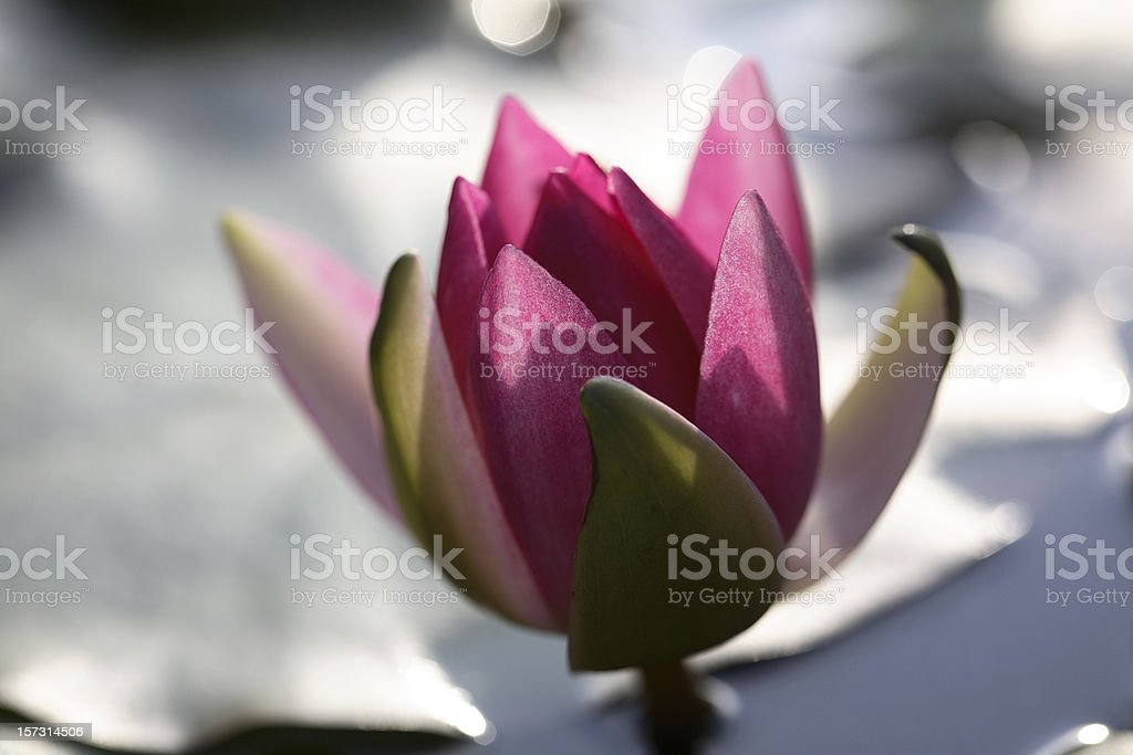 Purple Water Lily opening stock photo