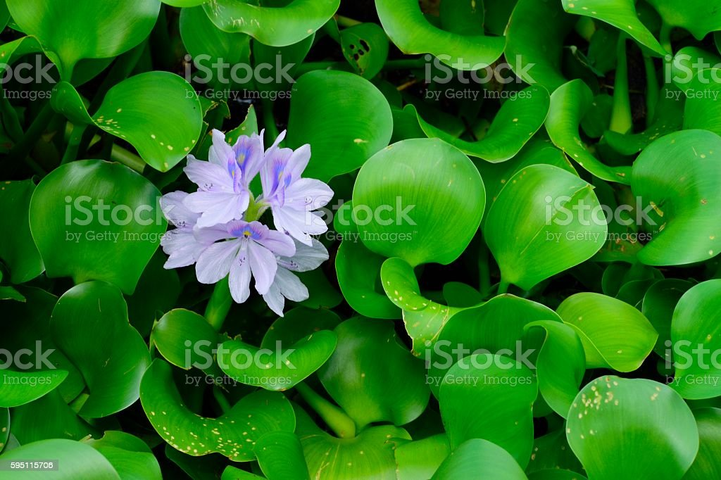 Purple water Lily (Nymphaeaceae) stock photo