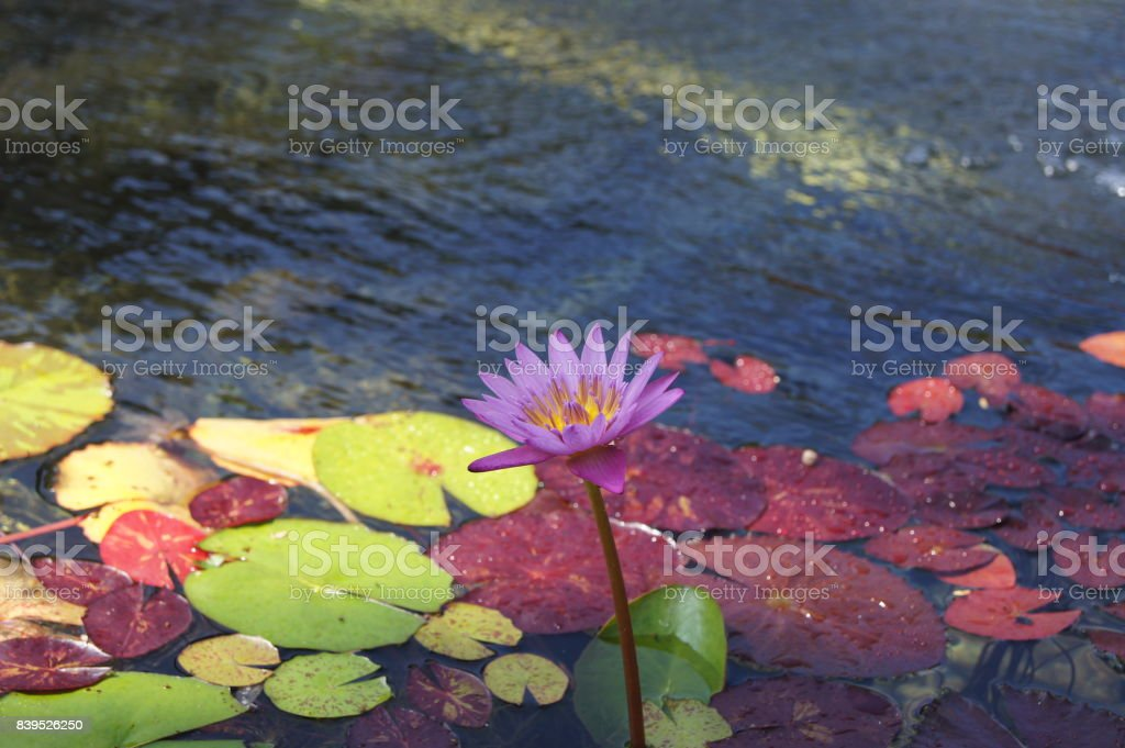 Purple Water Lily with Multi-Colored Lily Pads stock photo