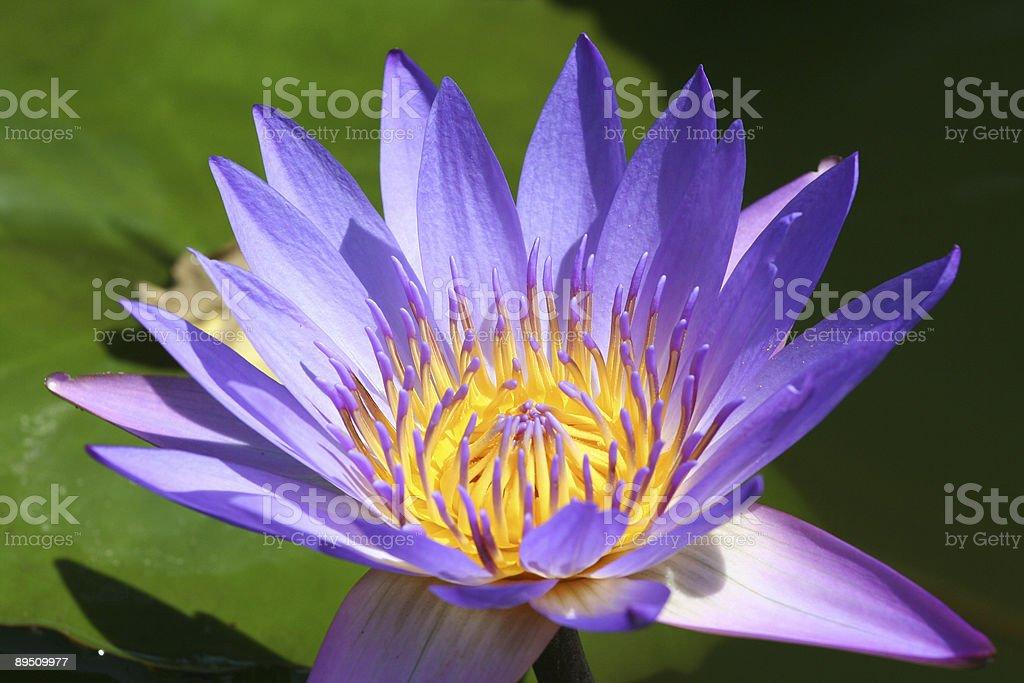 Purple Water Lotus royalty-free stock photo