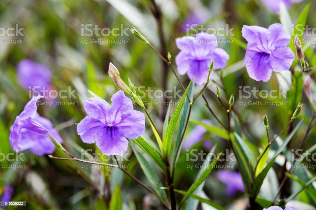 purple waterkanon flower stock photo