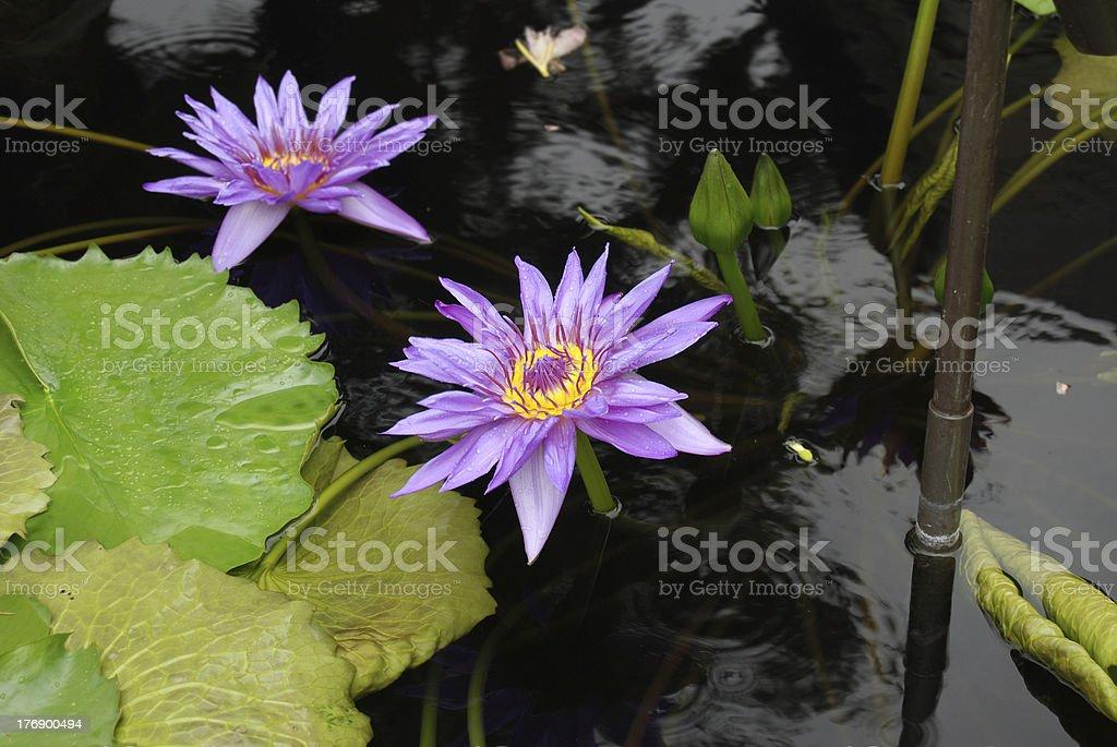 Purple Waterlily Flower stock photo