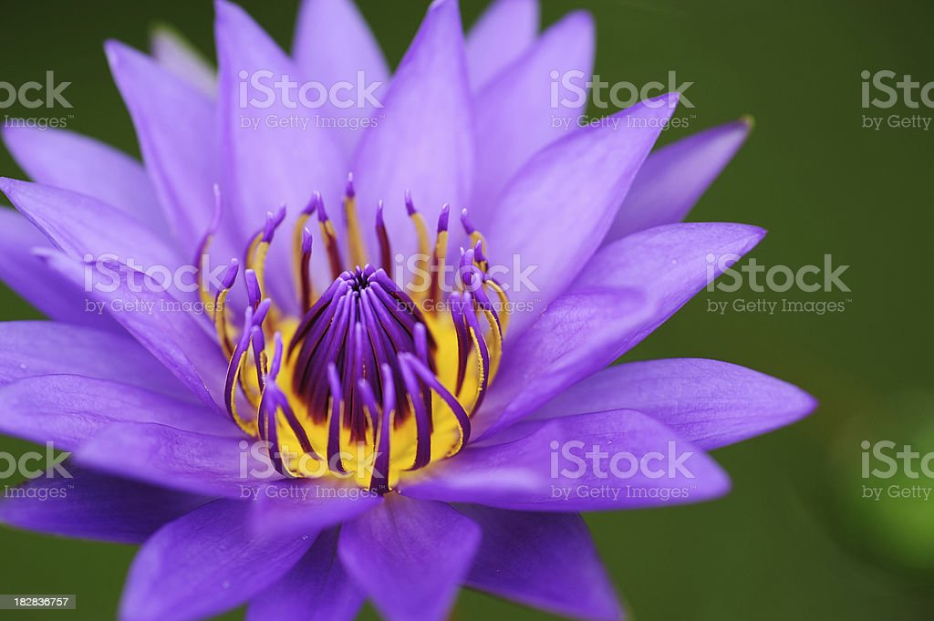Purple waterlily royalty-free stock photo