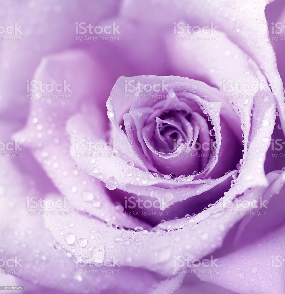 Purple wet rose background stock photo