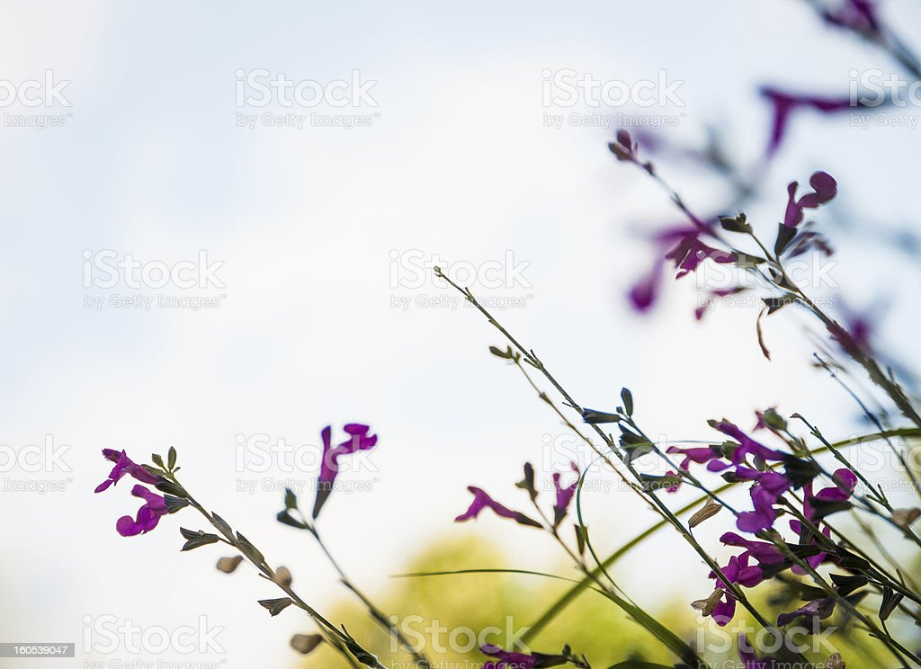 Purple wild flowers against the sky royalty-free stock photo
