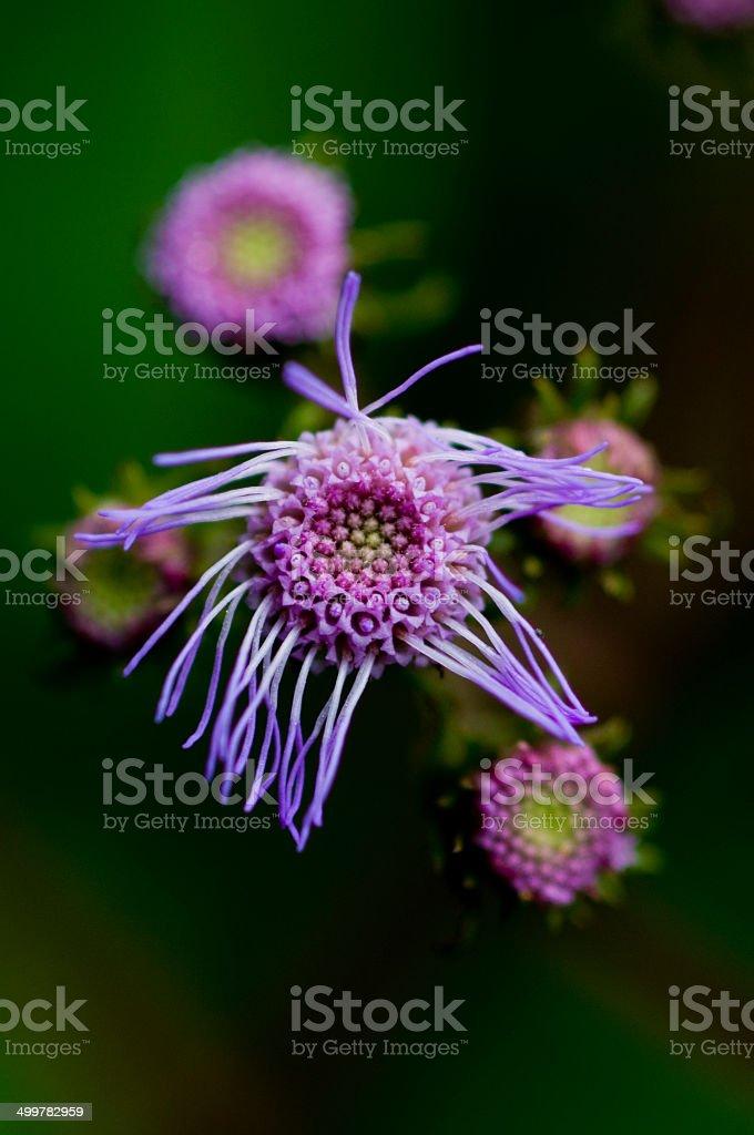 Purple Wildflower, Eupatorium Odoratum stock photo